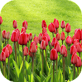 TulipsBG: Free Tulip Wallpaper APK