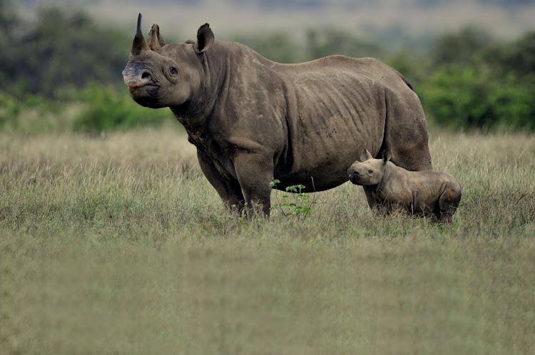 星期三在Somkhanda Game Reserve涉及现场指导学生的黑犀牛母亲和小牛。