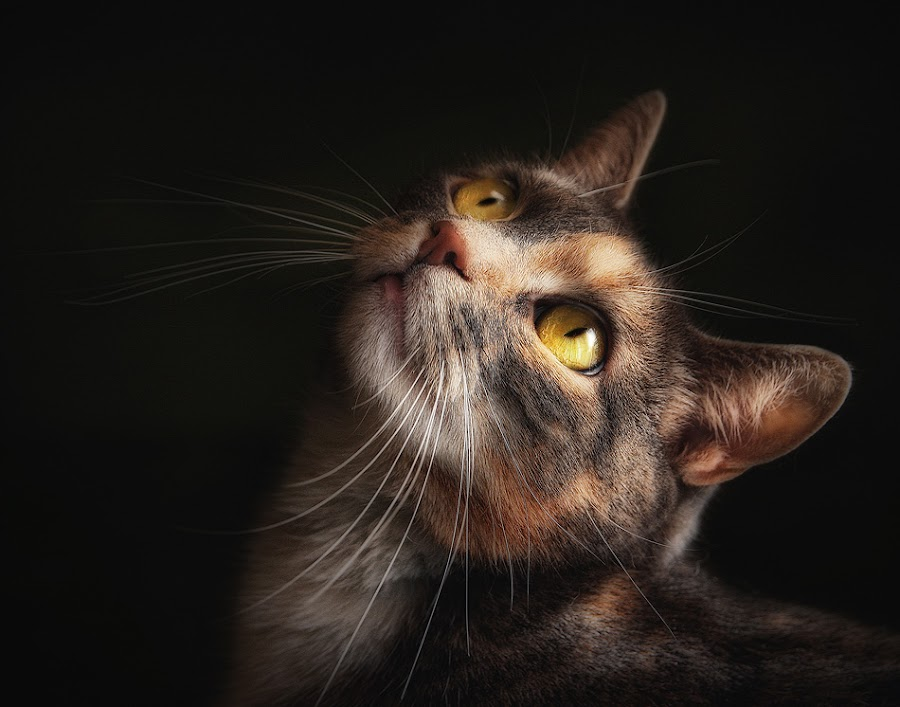 The Contessa by Pat Abbott - Animals - Cats Portraits ( cats, animals, pets )