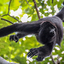 Guatemalan Black Howler
