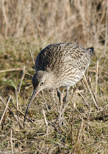 Photo: Curlew