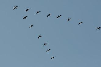 Photo: Greylag Goose (Wildgans); Radebeul, DE