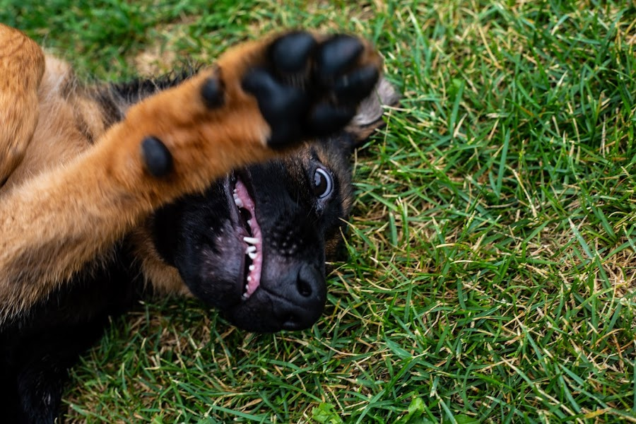 Do not take a picture of me! by Ivan Kovaček - Animals - Dogs Puppies ( german shepherd, gsd, angry,  )