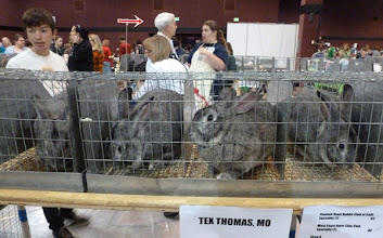 Photo: American Chinchillas waiting to be judged by Tex Thomas (red arrow)