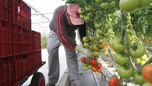 Recogida de tomates en un invernadero almeriense.