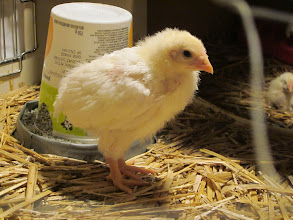 Photo: Chicks are growing!