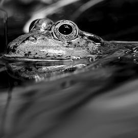 The frog is floating by Gérard CHATENET - Black & White Animals