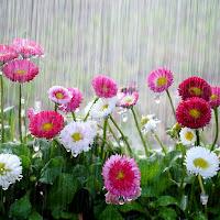 Piove sulle pratoline di