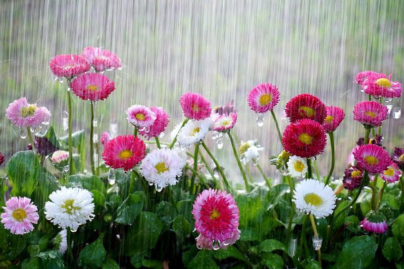 Piove sulle pratoline di Furlissima
