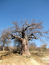 Photo: Baobab tree at the border crossing in Ngoma Bridge