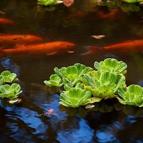 A quiet moment by Teri Garrison-Kinsman - Nature Up Close Other plants ( water plants, maui, water cabbage, water lettuce, koi pond, koi fish, fish, koi, koi swimming, hawaii )