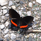 Red Rim Butterfly