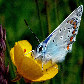 cute blue butterfly by Jasminka Lunjalo - Animals Insects & Spiders ( butterfly )