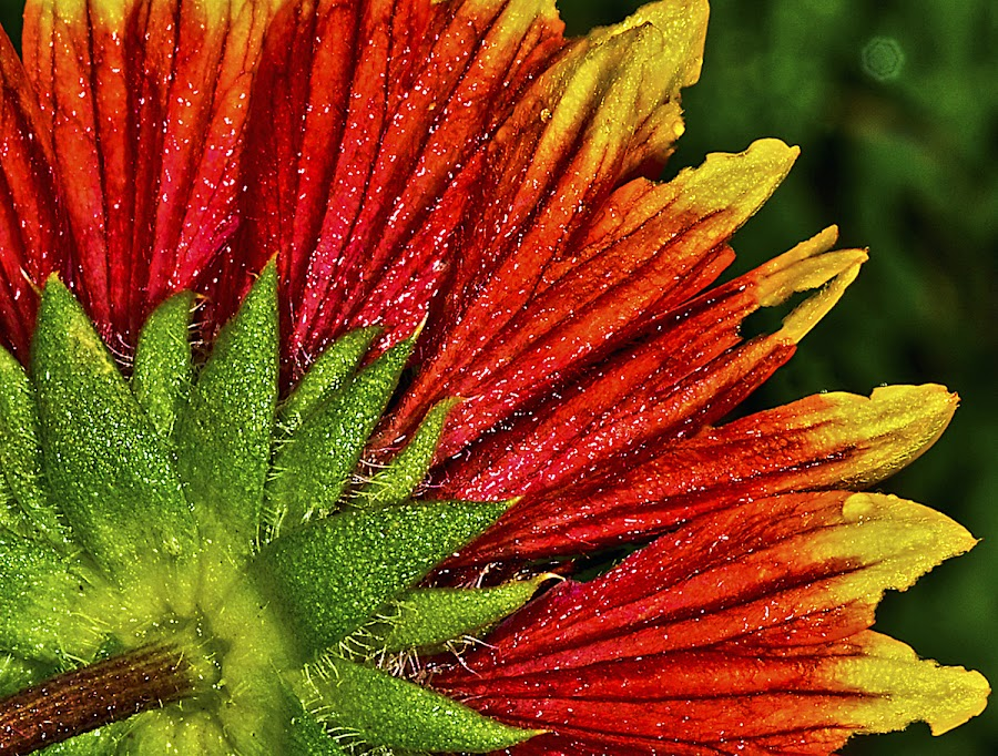 Back of blanket flower by David Winchester - Nature Up Close Flowers - 2011-2013