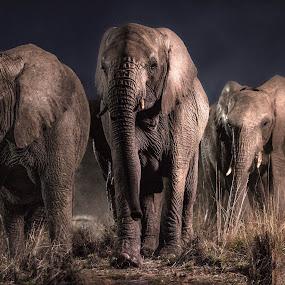 Great Stampede by Vernondo Boshoff - Animals Other Mammals