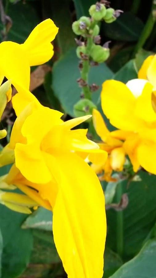 وردة القنا من اجمل الورود الان في تطبيق خاص لجعلها خلفية لجهازك.