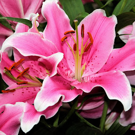 Lilies in bloom by Suresh K Srivastava - Flowers Flower Gardens ( pollen, lilies, nature photography, stamen, beauty in nature, flowers )