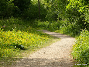 Photo: Buttercups along railway path