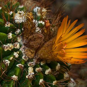 C:\Documents and Settings\Rod Schrader\Desktop\Pixoto\cactus bloom.jpg