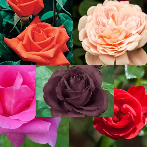 类型的美丽的玫瑰 遊戲 App LOGO-硬是要APP