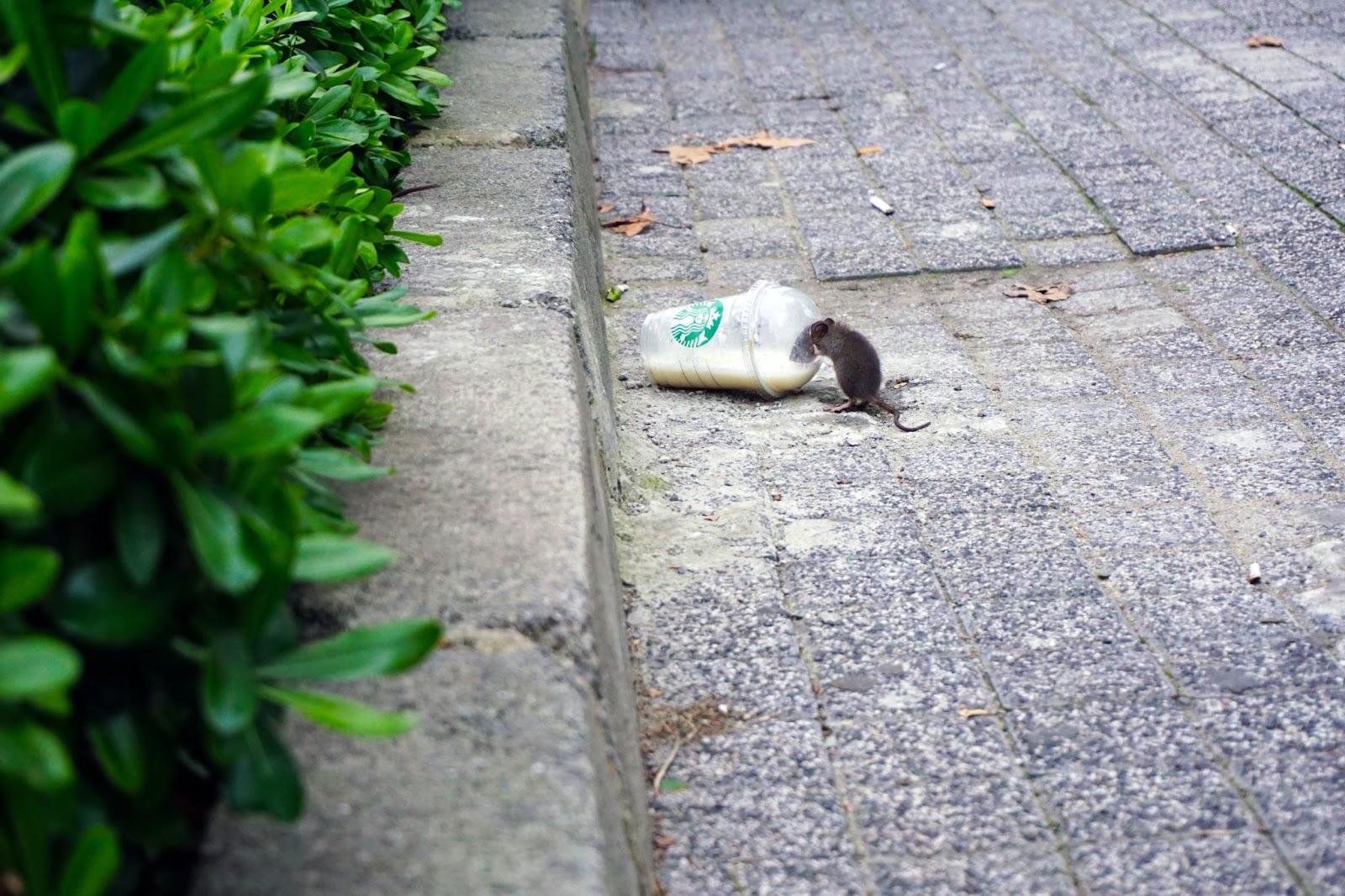 Rato Comendo Lixo Na Rua