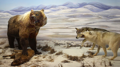 Photo: North American Short-faced Bear  Arctodus simus- the giant short-faced bear has just chased two wolves away from their kill, a steppe bison calf. As the bear eats, the wolves wait, hoping to get back to their prey. The giant short-faced bear was the largest and perhaps the fiercest of the Ice Age land carnivores of North America. It appears to have specialized in scavenging, driving other predators away from their fresh kill. Diorama: Yukon Beringia Interpretive Centre http://www.beringia.com