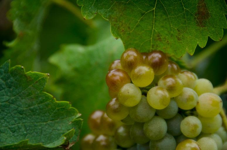 Photo: Chenin Blanc Grapes 2012