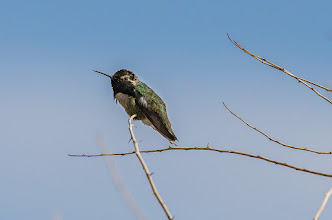 Photo: Costa's hummingbird, Borrego Palm Canyon trail, Anza Borrego SP