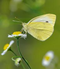 Photo: Pieris rapae, Piéride de la rave, Small White  http://lepidoptera-butterflies.blogspot.com/