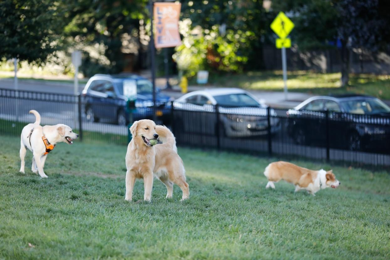 A group of dogs in a grassy area with cars in the background  Description automatically generated with low confidence