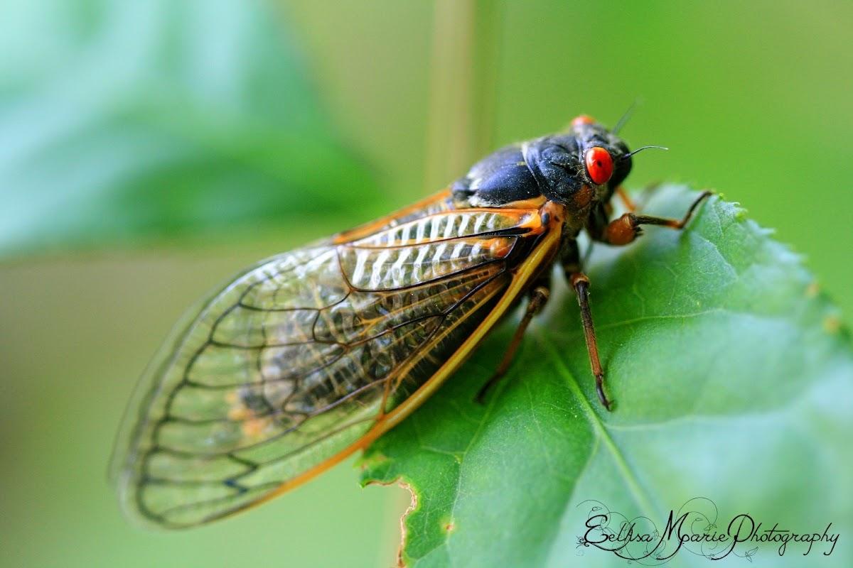 Cicada (Periodical - Brood V)