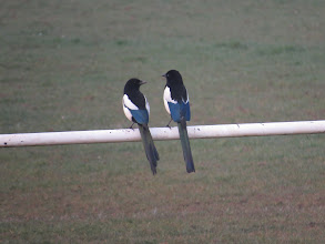 Photo: Priorslee Lake See even Magpies can be romantic. And the blue gloss is quite attractive. Pity about the ragged tail. (Ed Wilson)