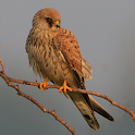 Spanish Birds Sounds Free icon