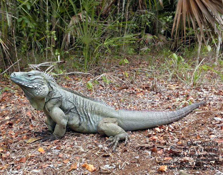 Photo: Blue Iguana - Cyclura lewisi, Endangered Grand Cayman endemic, named after biologist C. Bernard Lewis, Rhodes Scholar, who took a male and female to the British Museum of Natural History, collected during the 1938 Oxford University Biological Expedition to the Cayman Islands. Photo: Ann Stafford, on the Woodland Trail, Queen Elizabeth II Botanic Park, Grand Cayman, Apr. 22, 2012