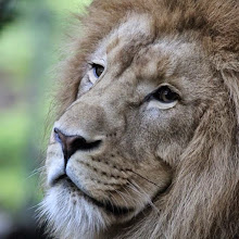Photo: Lion au Coeur Val de Loire ©ZooParc de Beauval