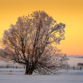 Golden Sunset Tree by Chad Roberts - Nature Up Close Trees & Bushes ( willow, frost, sunset, tree, golden, winter,  )