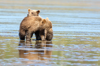 Photo: The first Brown Bears  saw were digging clams