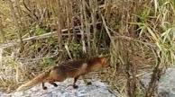 Captura del vídeo en el que puede verse al zorro.