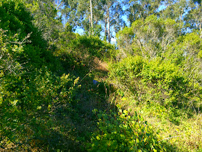 Photo: Eucalyptus stump. Gooseberry bottom center.