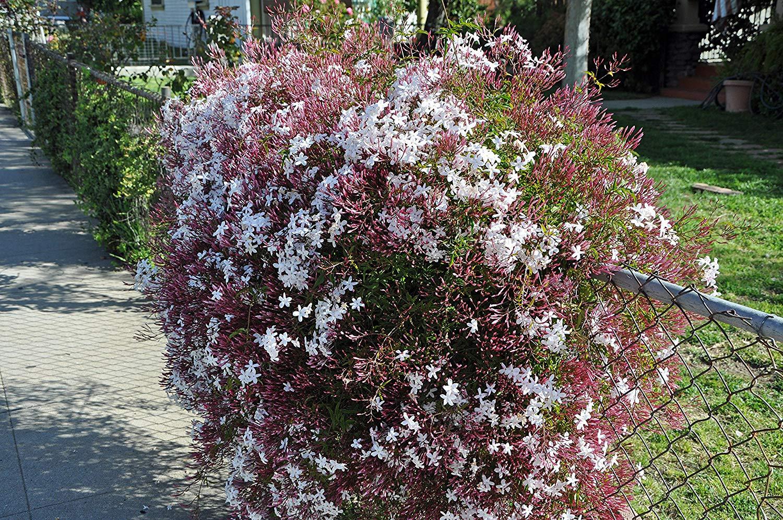 White / Pink Jasmine - Jasminum Polyanthum