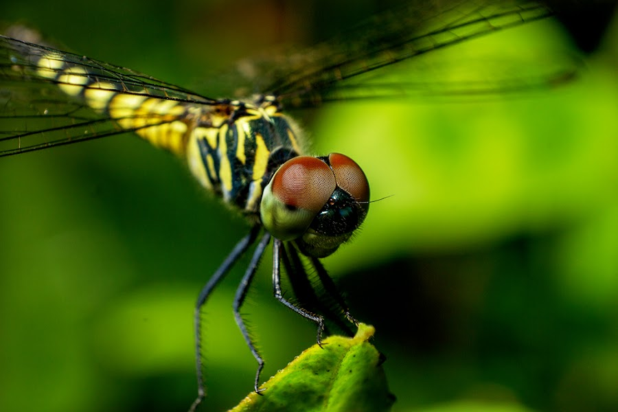 Dragonfly- The Natural Helicopter by Asrarul Islam - Animals Insects & Spiders ( macro, reverse, 18-55. canon, dragonfly )