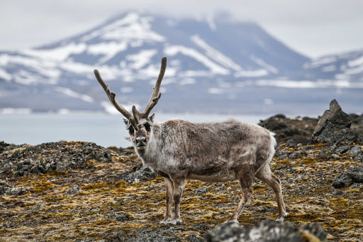 reindeer-1.jpg - A reindeer seen on a Ponant polar expedition to the arctic.