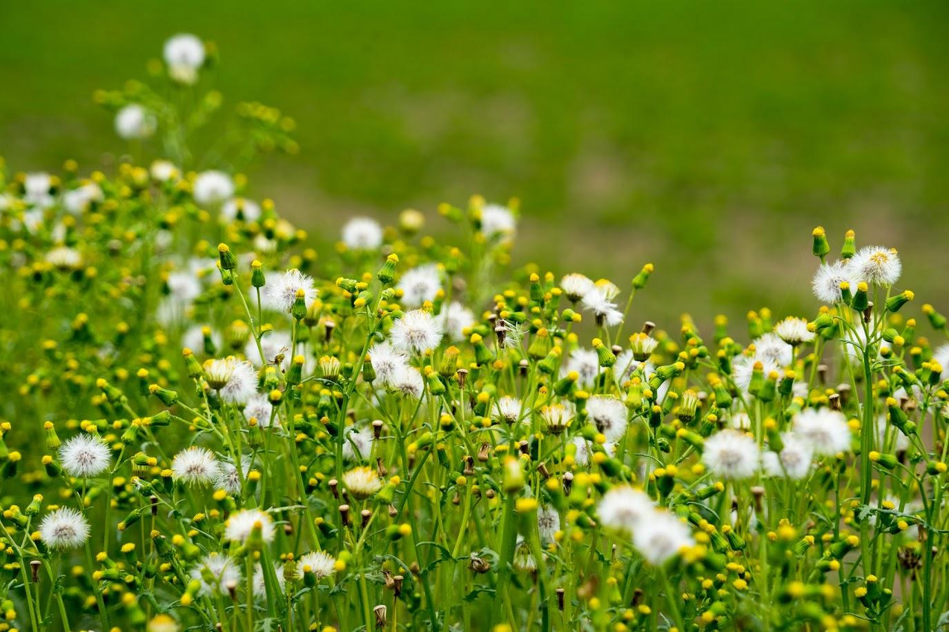 黒千石大豆の圃場の畦を彩るタンポポ