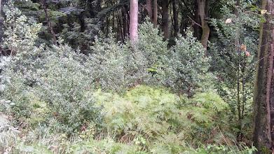 Photo: Die Stechpalmbüsche glitzern silbern nach dem Regenguß.
