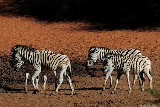 Photo: Zebras at the Haak en Steek waterhole in the Mokala National Park