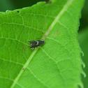 Clover Head Caterpillar Moth