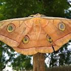 Tasar Silk Moth