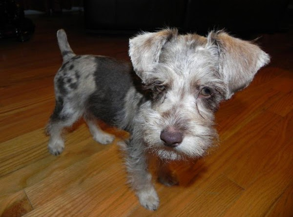 Paczki right after his first official hair cut. We have a wonderful friend and...