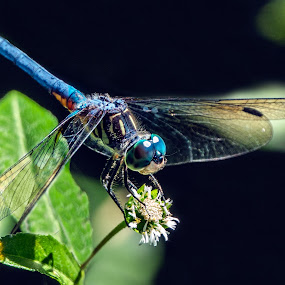 Dragon Beautiful by Joan Sharp - Animals Insects & Spiders ( dragonfly, green, blue, back, flower,  )