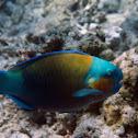 Daisy parrotfish